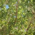 L'uva sultanina di Vico Doge