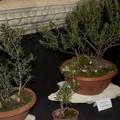 Luigi Petroni l'arte del bonsai