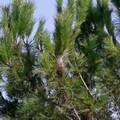 La processionaria sui pini