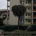 Palma colpita da punteruolo rosso