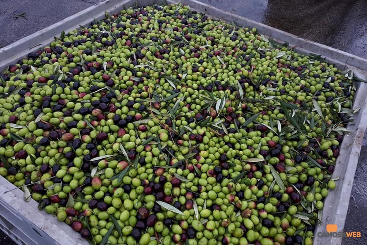 Puglia raccolta olive
