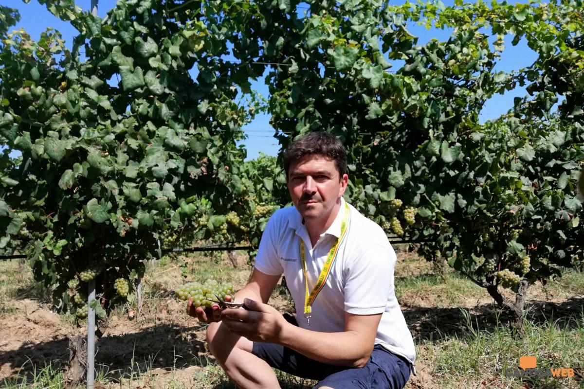 Gianni Cantele in vendemmia a Guagnano