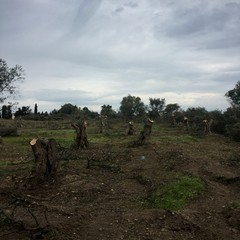 Barletta:strage di ulivi