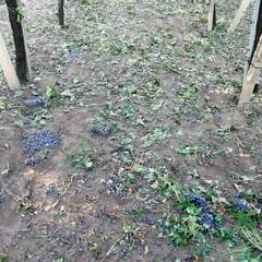 Maltempo: disastro nelle campagne di Loconia