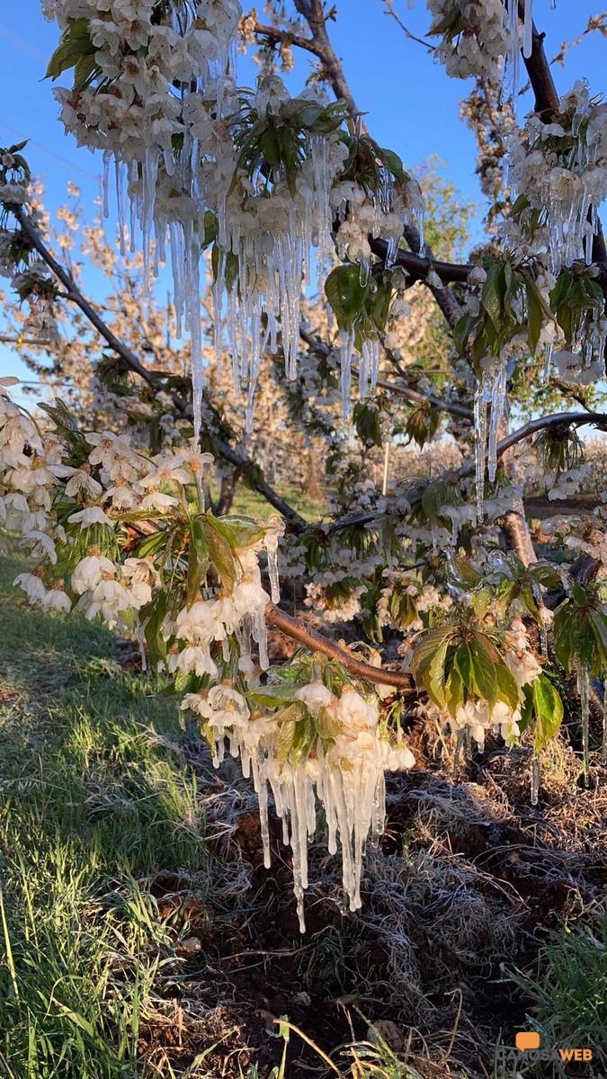 Puglia: Stalattiti di ghiacchio su ciliegi in fiore