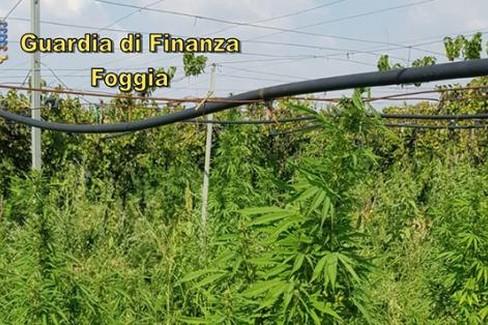 G. di F. Piantagione di marijuana