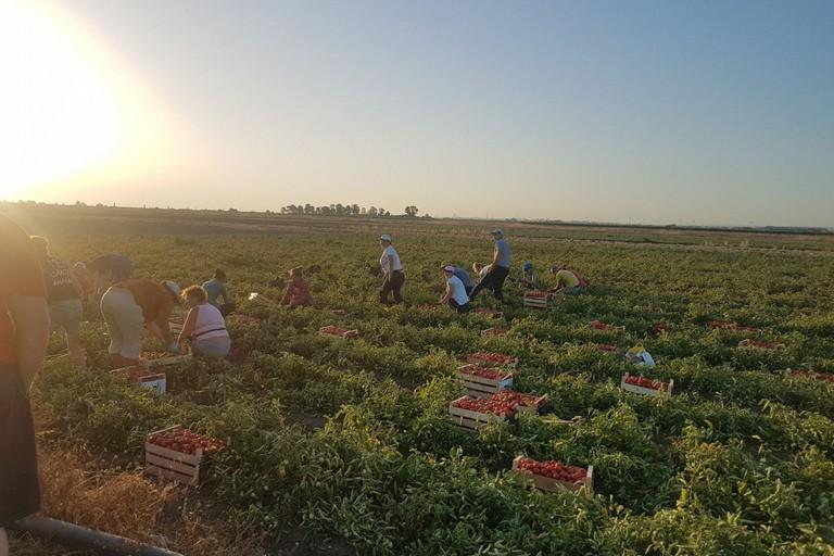 Agricoltura raccolta pomodori