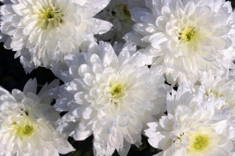 Crisantemi Fiori