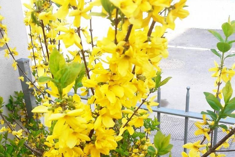Forsixia Fiori  Primavera