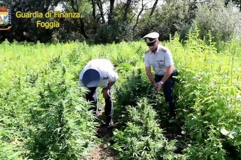 G. di F.:  Marijuana