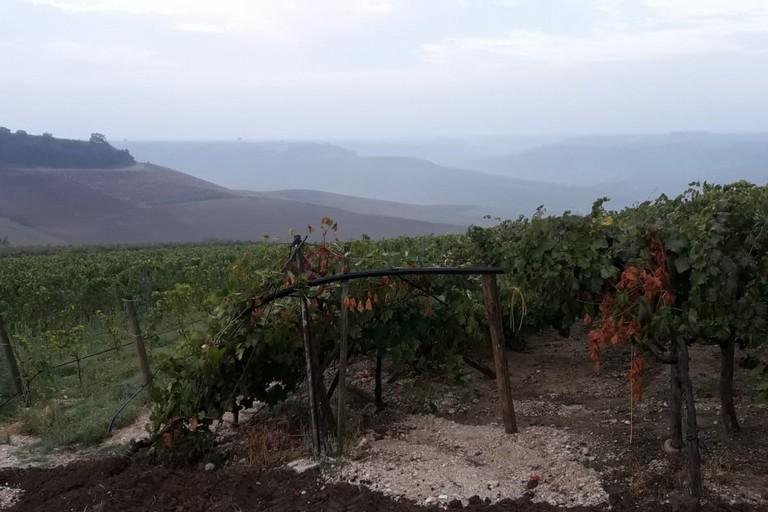 Minervino Tagliati i tiranti di tendoni di uva da vino