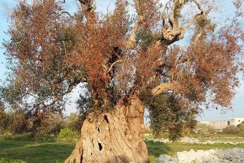 Puglia xylella