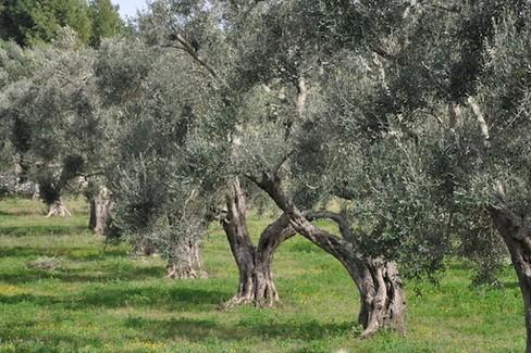 Puglia siccit olivi in 39 coma vegetativo 39 for Vendita alberi da frutto adulti