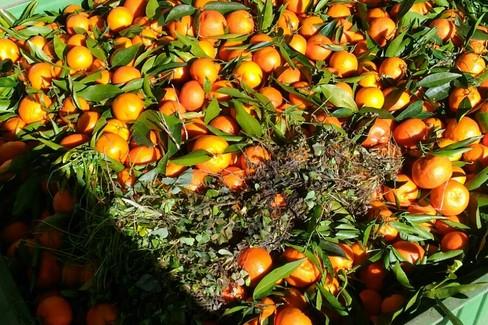 Agrumi clementine