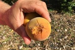 Agricoltura in ginocchio : compromessi i raccolti di frutta