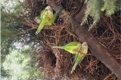 Invasione di pappagalli verdi nelle campagne