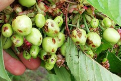 Maltempo:ciliegie e albicocche distrutte