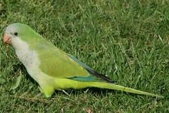 Fermare l'invasione dei pappagalli