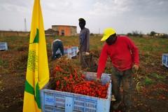 Migranti:  il primo raccolto dei 'pomodori del riscatto'