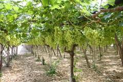 La piaga dei furti di uva da tavola
