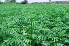 Piantagione  di marjuana individuata dalla Polizia