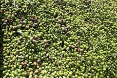 Sosteniamo filiera olivicola contro crisi prezzi
