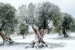 Contributi per oliveti colpiti dalle gelate del 2018