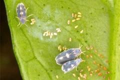 Caldo:invasione insetti 'alieni'