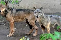 La preoccupante proliferazione di lupi e cani inselvatichiti