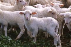 Pasqua 2021: agnellini trasportati con sistemi inefficienti