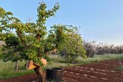 Mandorli e albicocchi, esempi di 'resilienza' alla Xylella