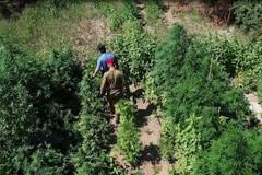 Scoperta piantagione di cannabis sul fiume Ofanto