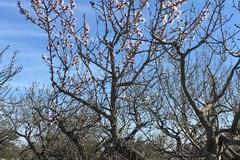 Mandorli in fiore, 'finta primavera' in Puglia