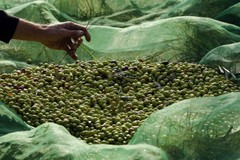 Furti di olive :cabina di regia in Questura