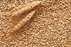 La Puglia è il principale produttore italiano di grano duro