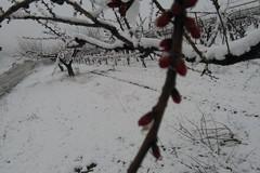 Maltempo: neve su uliveti e mandorli in fiore