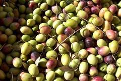 Forti raffiche vento spazzano via le  olive