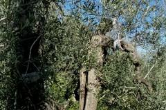 Unesco : giornata mondiale degli ulivi