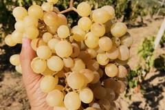 Prezzi uve in caduta libera