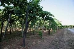 La produzione energetica nella filiera vitivinicola: applicazioni nell'agroindustria
