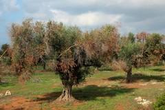 Puglia: monitoraggio per contenere l'avanzata dalla Xylella