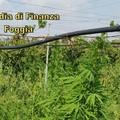 Scoperta maxi-piantagione di marijuana