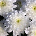 Ognissanti :il crisantemo il fiore preferito