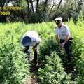 Sequestrata vasta piantagione di marijuana