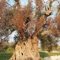 Xylella :Piano 'salva ulivi' per fermare avanzata malattia
