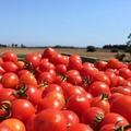 Valorizzazione della filiera del pomodoro