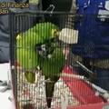 Sequestrati due pappagalli vivi ad un cittadino albanese
