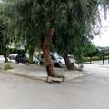 Rischio caduta alberi in via Sergente Prudente