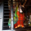 Pappagallo esotico detenuto illegalmente