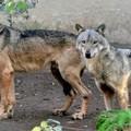La preoccupante proliferazione di lupi